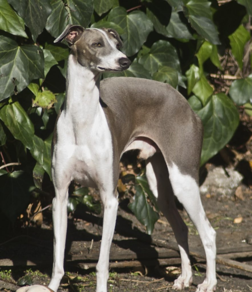 Leather Martingale Collars For Italian Greyhounds