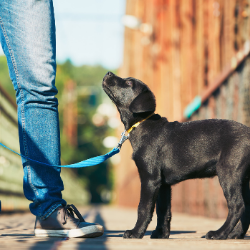 what is leash training