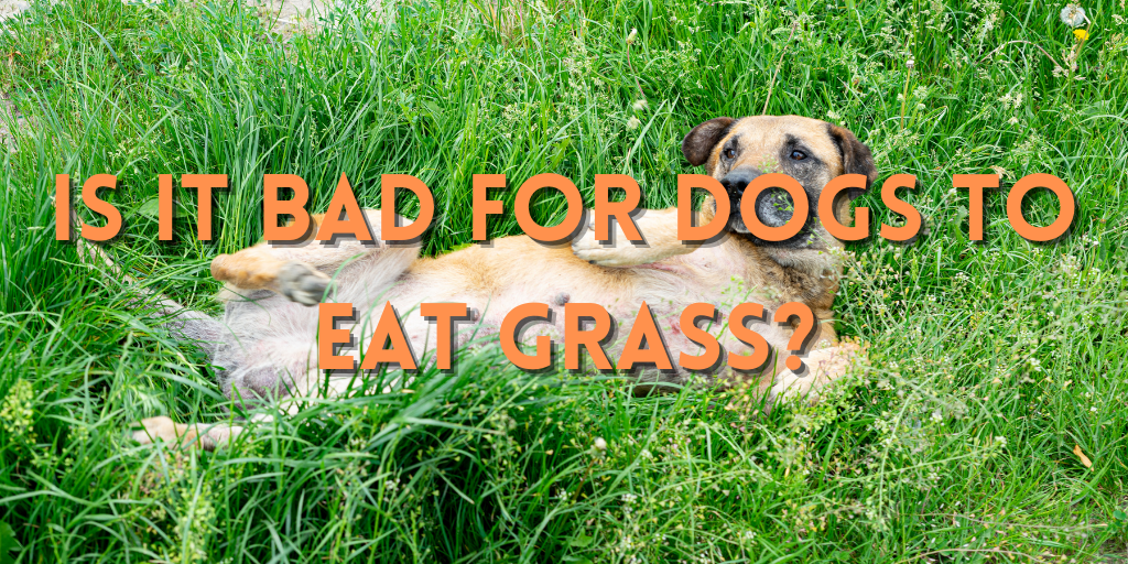 Is It Bad For Dogs to Eat Grass?