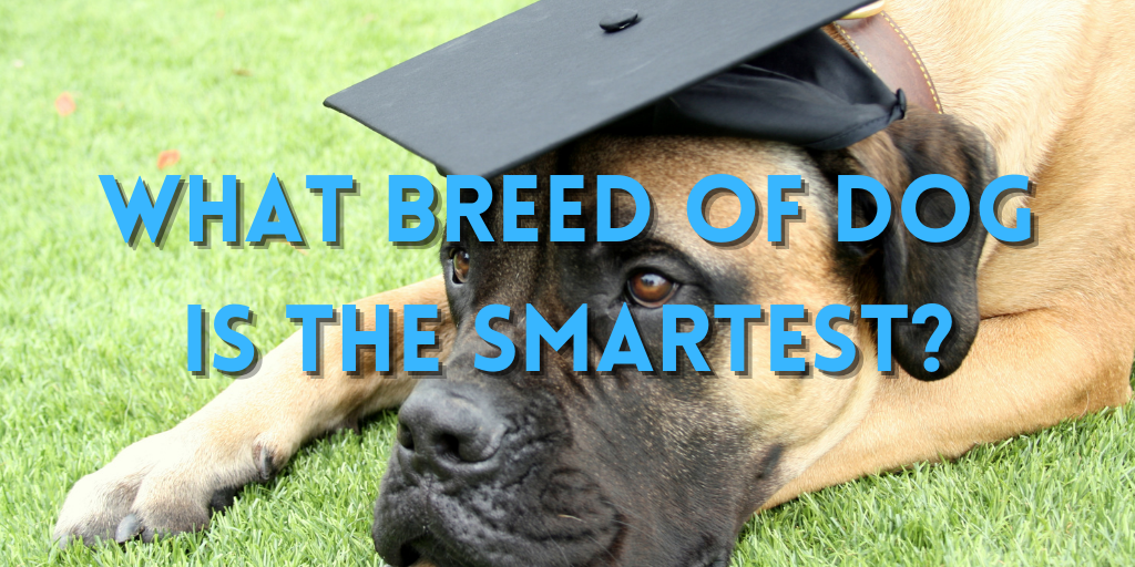 what breed of dogs is the smartest