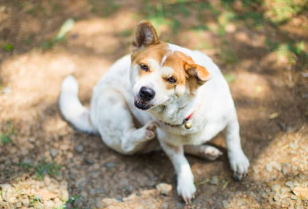 Can You Give a Dog Benadryl For Allergies?