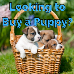 Looking to Buy a Puppy
